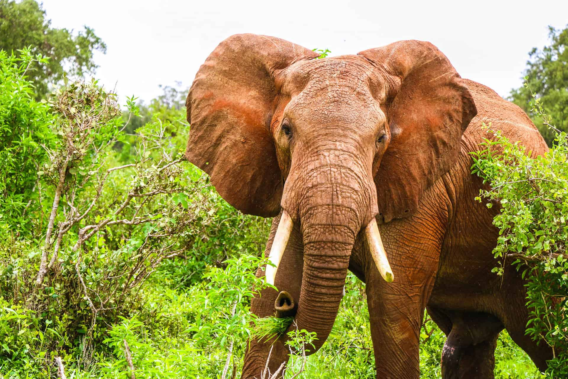 Elefant i Tsavo