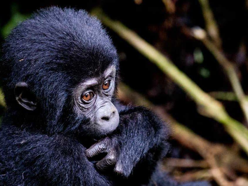 Lille chimpanse
