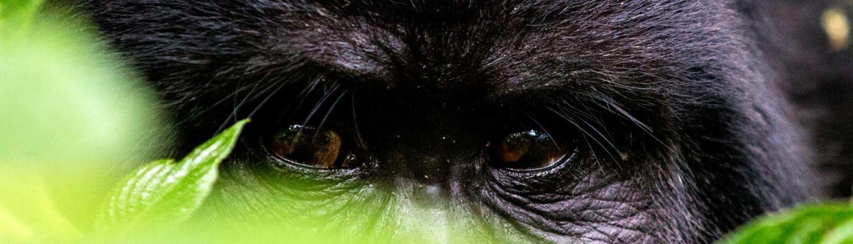 Gorilla-øjne på rejser til Uganda