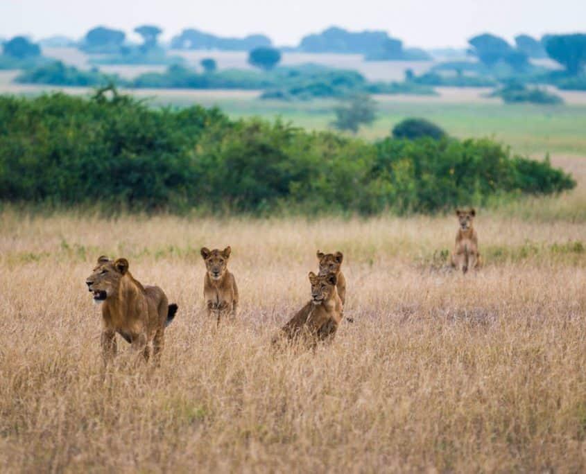 Løver på rejse til Uganda og Rwanda