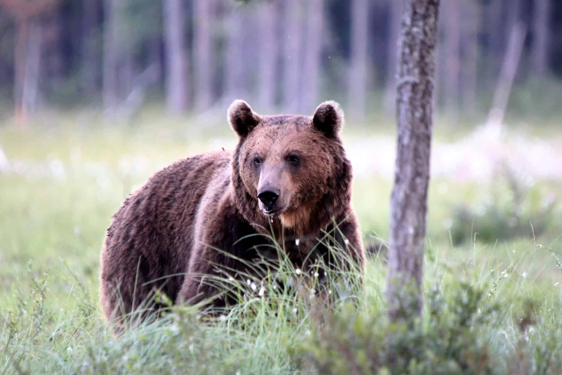 Bjørn i naturen i Finland