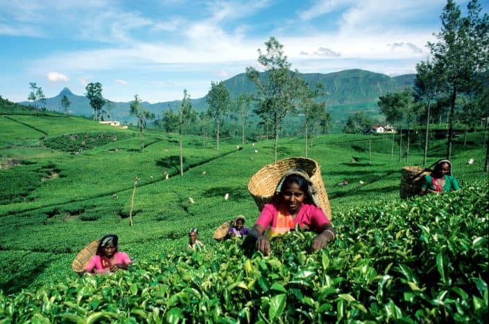 Ceylon - høst af the i Sri Lanka