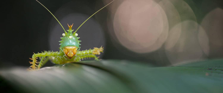 Græshoppe i Ecuador