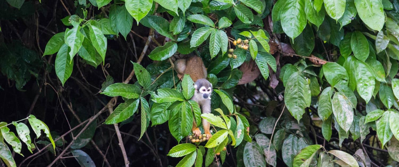 Dødingehovedabe i Ecuadors regnskov