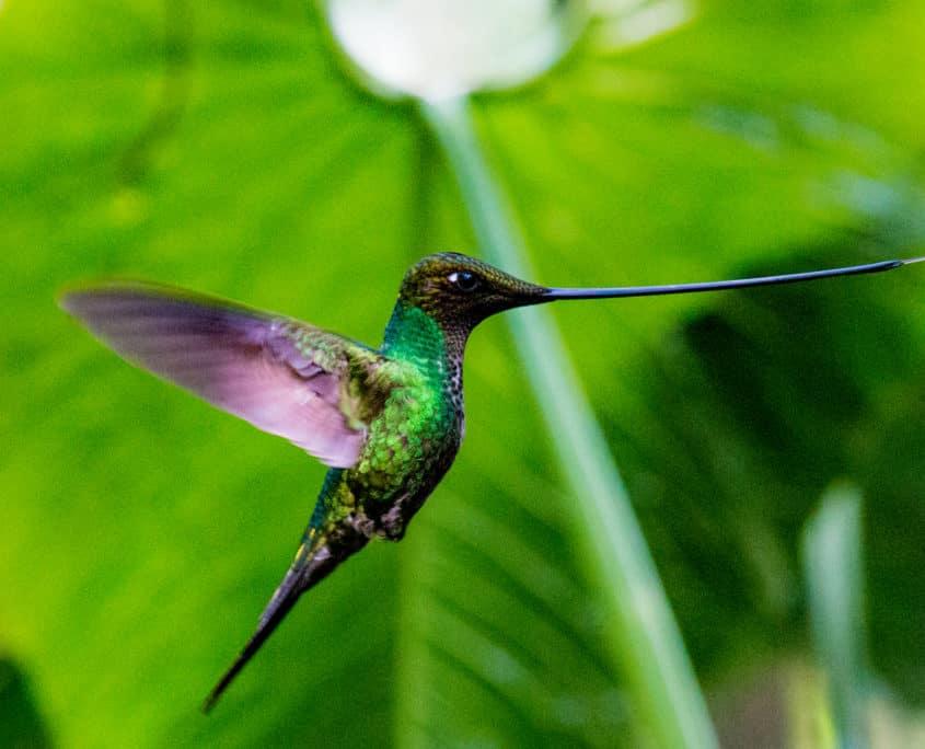 Kolibri i naturen
