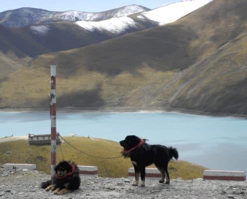 Tibetanske hunde ved Yamdrok Tso