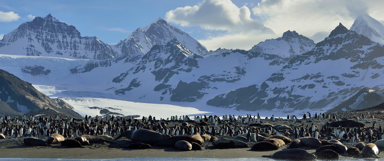 Søelefanter ved St. Andrews Bay på rejser til Antarktis