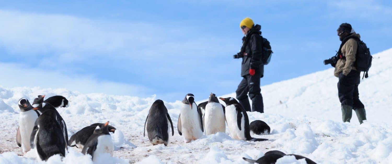 Gentoos -pingviner i sneen