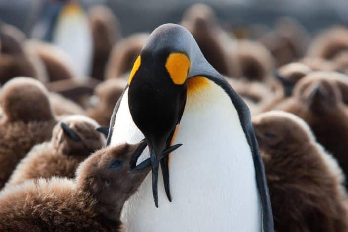 Kongepingvinunge fodres på rejser til Antarktis