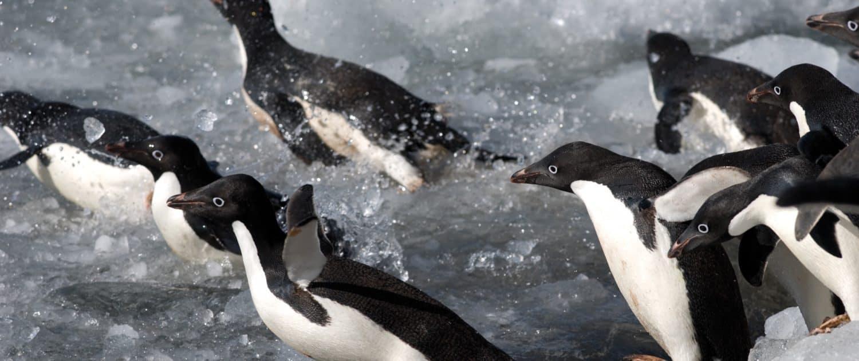 Adelie-pingviner, Paulet Island