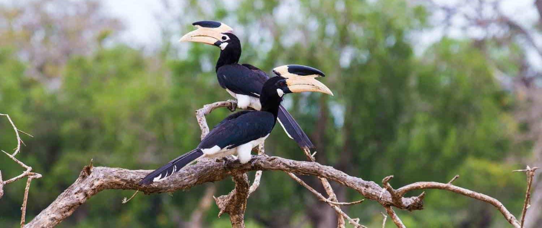 2 Tukanfugle på gren