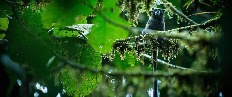 Abe i træ i regnskoven