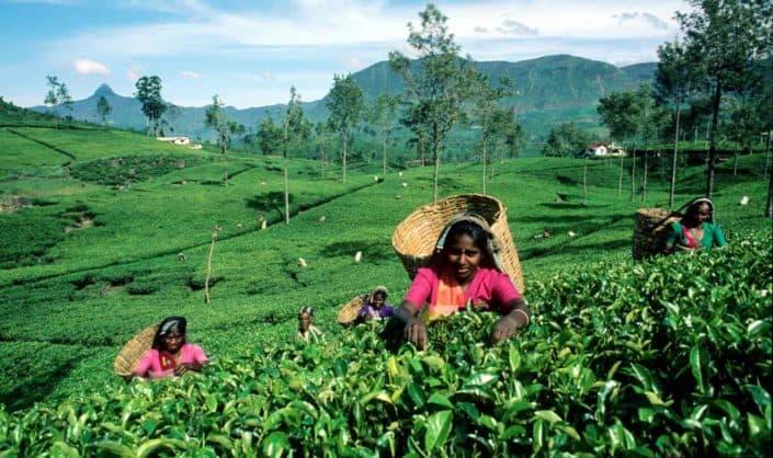 Bønder samler Ceylpon The på Sri Lankas marker