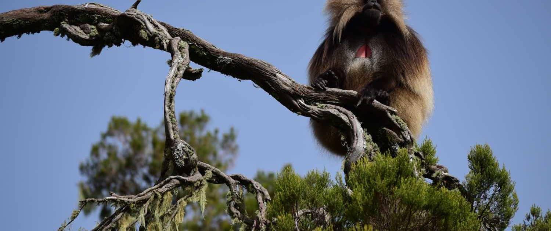 Gadabavian i træ på rejser til Etiopien