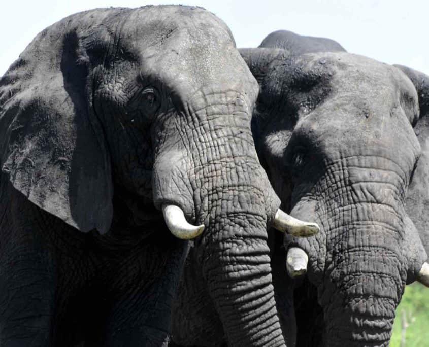 2 elefanter på safari