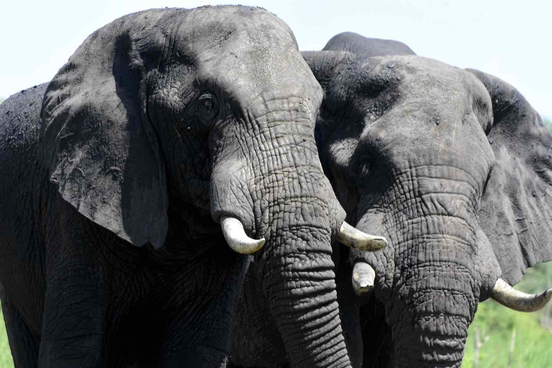 2 elefanter på safari i Afrika