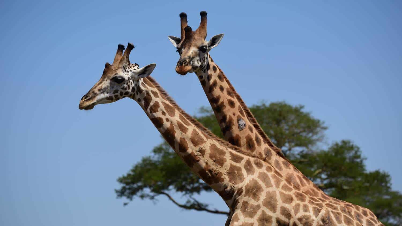 2 giraffer på rejse til Uganda og Rwanda