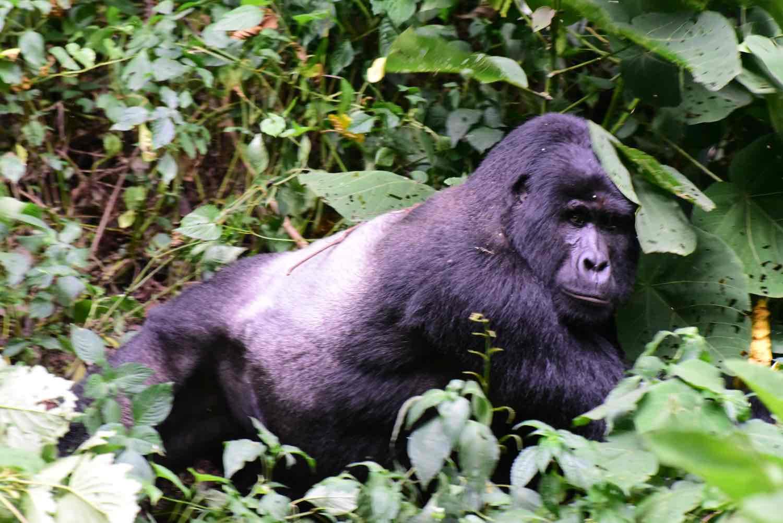 Gorilla i Ugandas natur