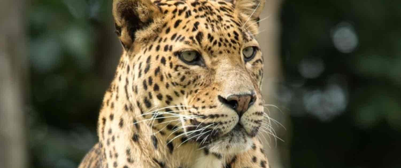 Leopard Yala på safari til Sri Lanka