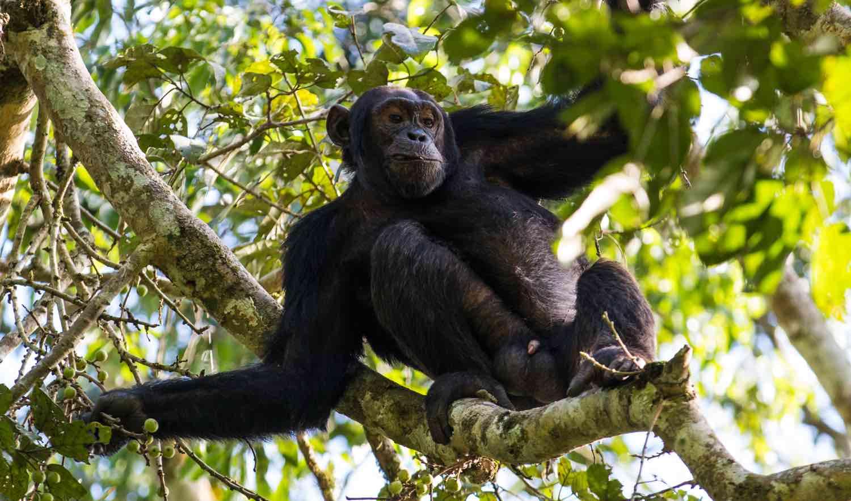 Chimpanse i træ på rejser til Uganda og Rwanda