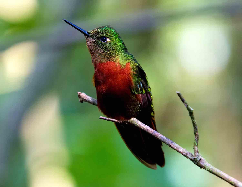Rejser til Ecuador - Kolibri på gren