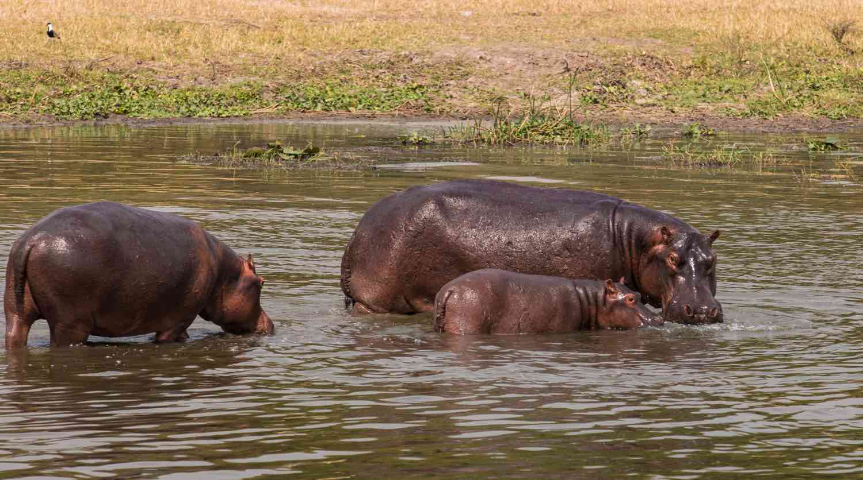 Flodheste i vandet
