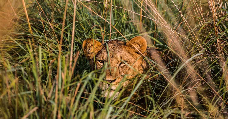 Løve I græsset