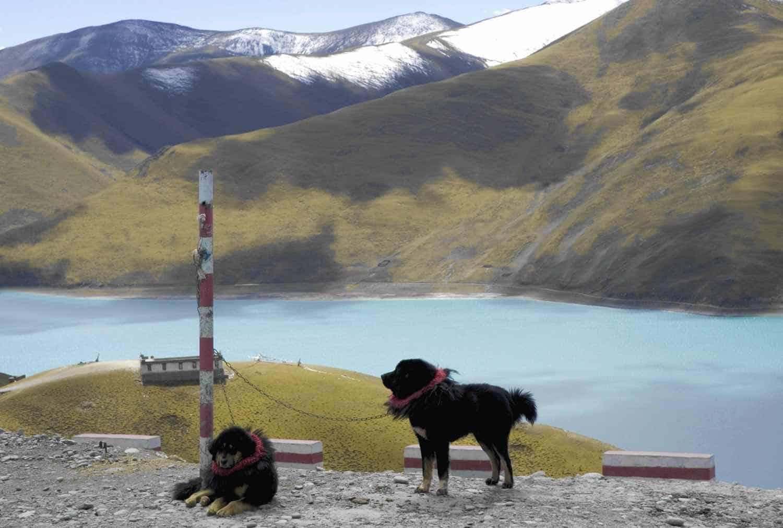 Tibetanske hunde på rejser til Tibet - Yamdrok Tso