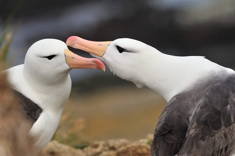Sortbrune albatrosser på Falklans Øerne