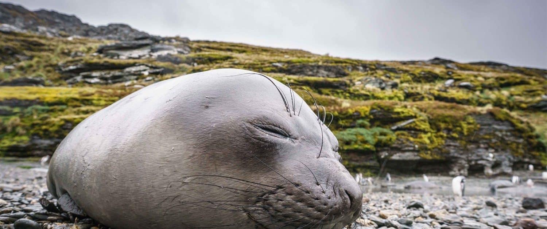 Sæl i den antarktiske natur