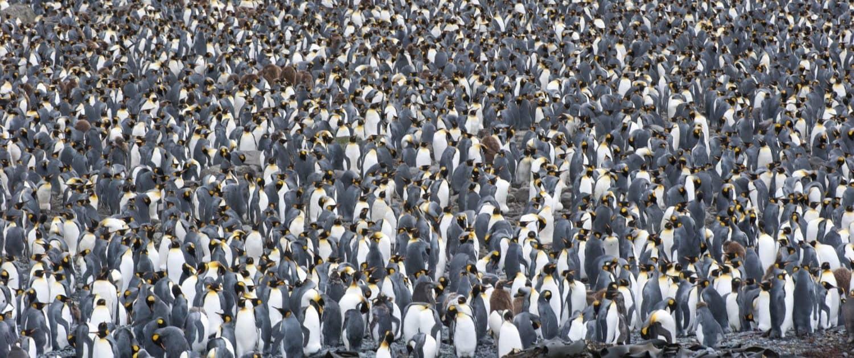 Koloni af kongepingviner