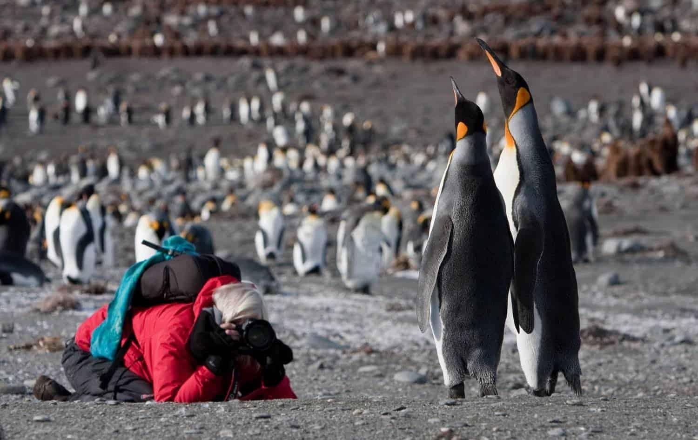 Fotograf tager billeder af majestætiske kongepingviner