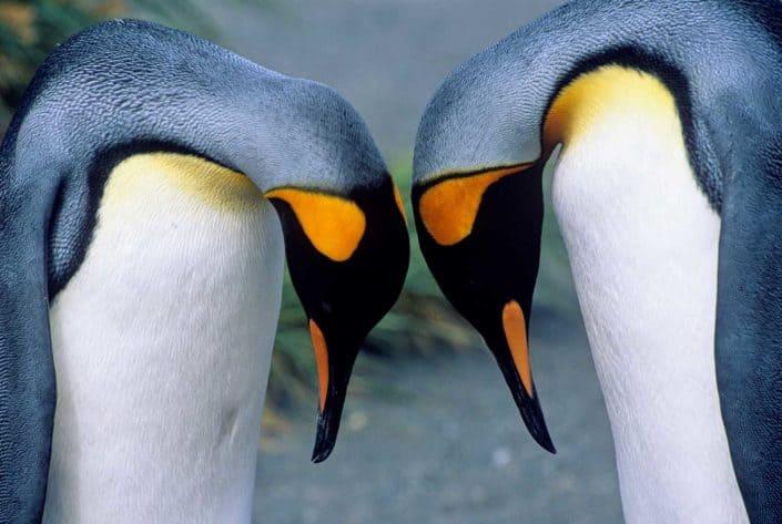 Kongepingviner på vores rejser til Antarktis
