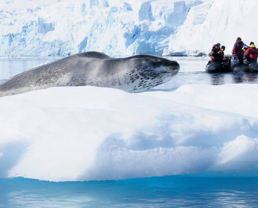 Sæl på isblok på Antarktis rejse