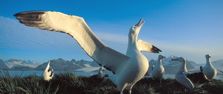 En flok albatrosser kommunikerer med hinanden