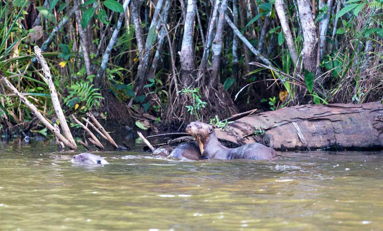 Brasilianske kæmpeoddere i Peruviansk flod