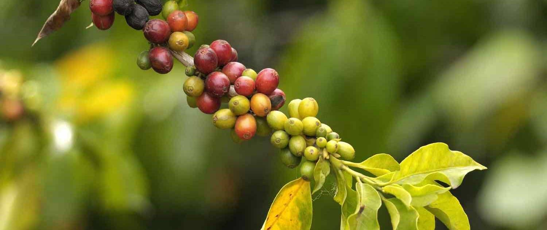Kaffeplante Colombia