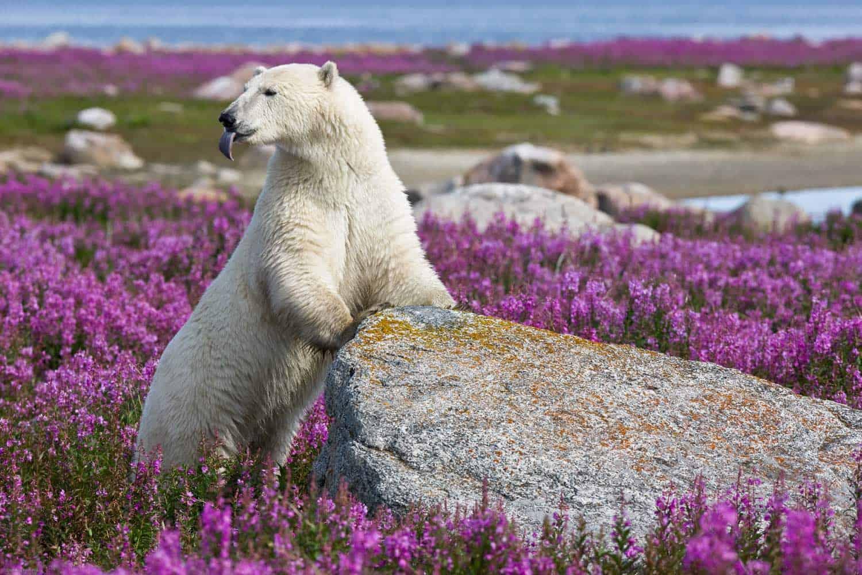 Isbjørn i naturen i arktisk Canada
