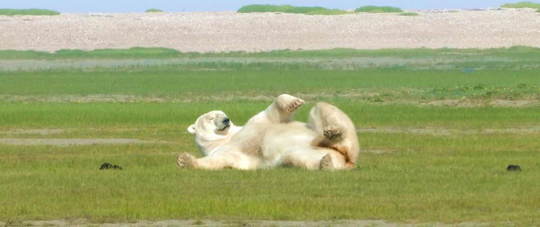 Isbjørn leger på græsset