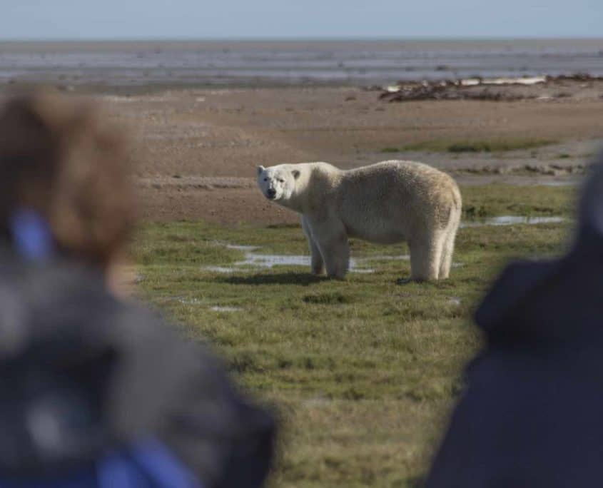Isbjørn i naturen