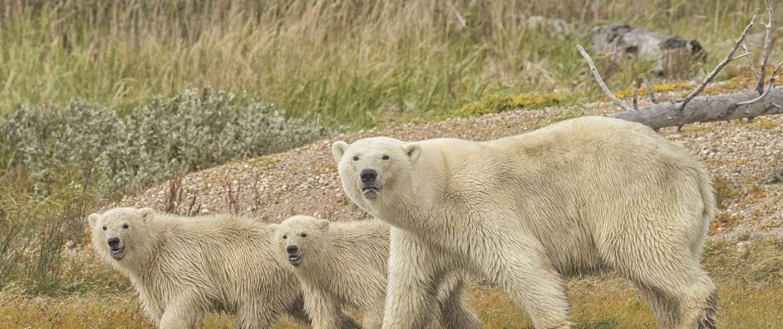 Isbjørne i arktisk Canada