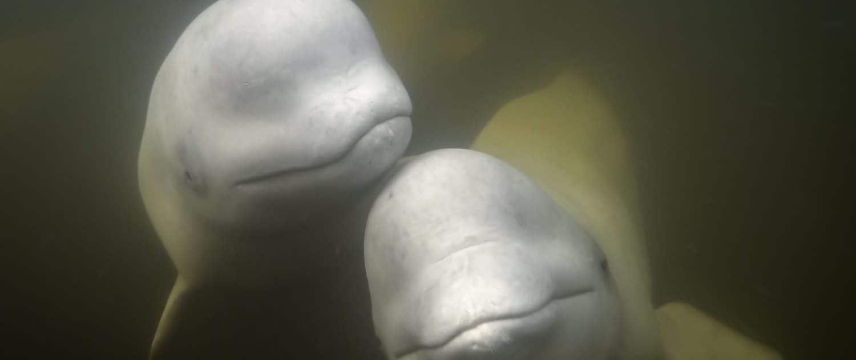 To hvidhvaler
