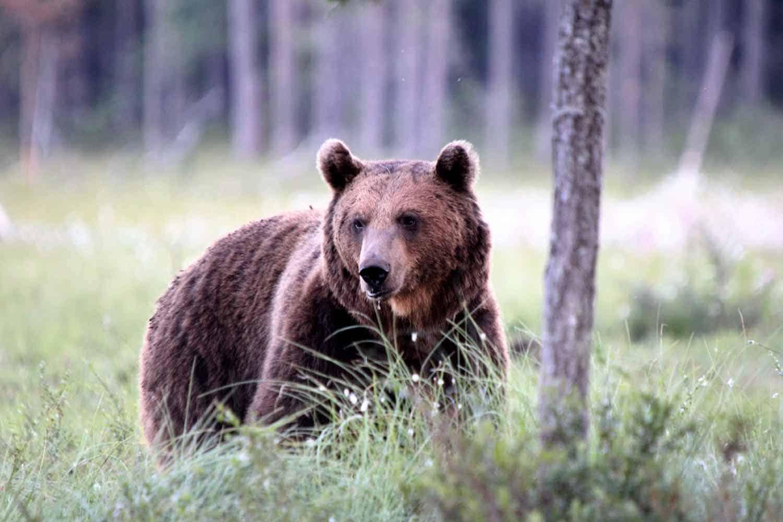 Bjørn i den finske skov