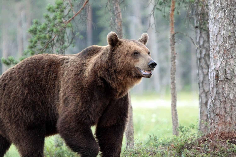 Brunbjørn i naturen