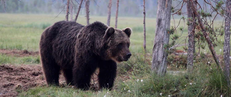 Brunbjørn i Finland
