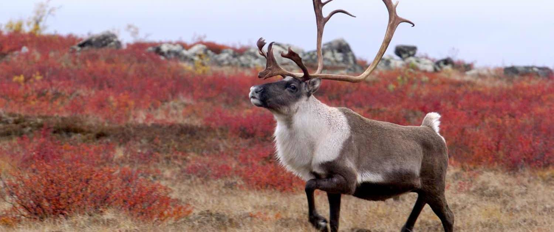 Rensdyr i naturen i arktisk Canada