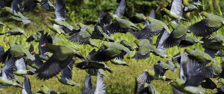 Grønne duer flyver væk