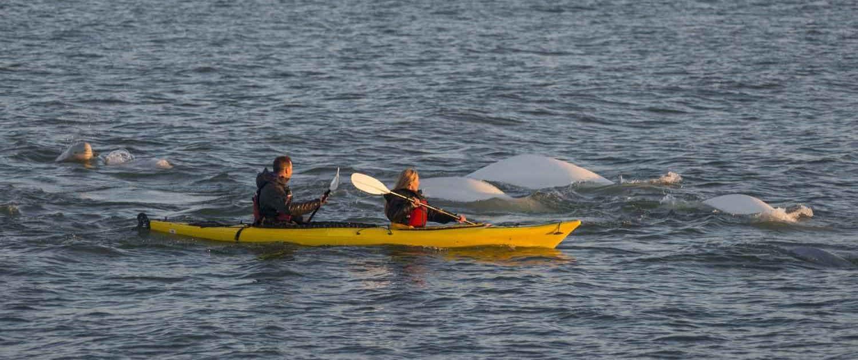To personer i kajak og hvidhvaler i vandet