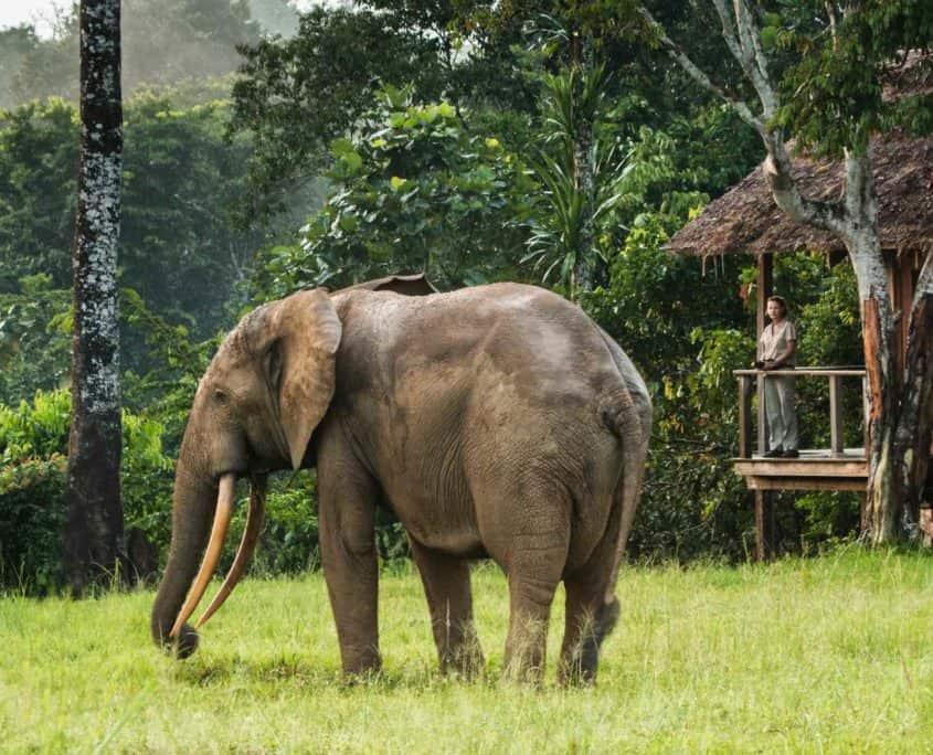 Elefant nær Mboko camp i Congos skov