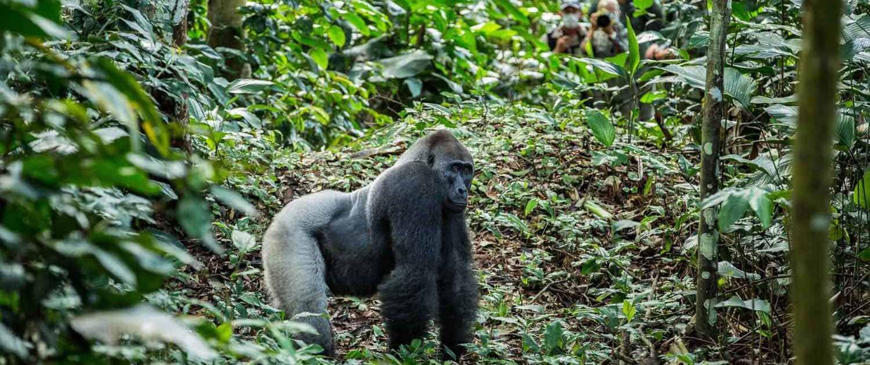 Lavlandsgorilla i junglen på rejser til Congo